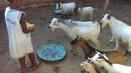 Ouida_goats
